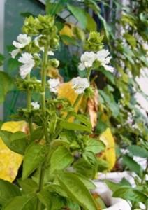 ベランダ家庭菜園に咲いたスウィート・バジルの花
