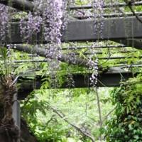 東京学芸大学の藤のお花