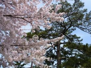 福岡市室見の桜-4月2日