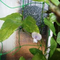 サンジャクササゲケゴンノタキの花