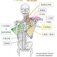 胸郭を下げる筋肉と胸郭を広げる筋肉 原図 三木成夫 「生命形態学除雪」を改変