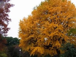 上野の国立博物館のイチョウの木