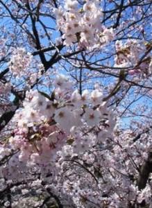 お花見-荒川自然公園-2015年3月31日