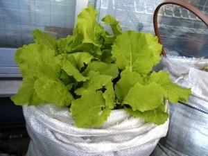 ベランダ家庭菜園の白菜