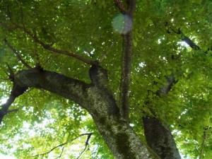 東京学芸大学の樹木-2015年5月20日(水)