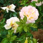 町屋駅前のピンク色の薔薇の花