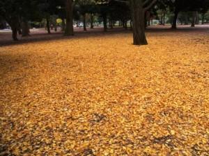 銀杏の落ち葉 in 代々木公園