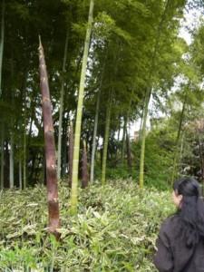 竹林と若竹