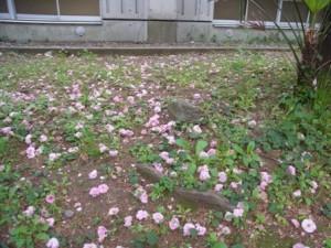 八重桜 満開の後