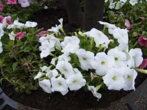 町屋駅前の花壇より