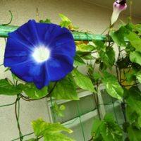 ベランダ家庭菜園に咲いたアサガオ
