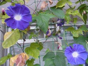 今朝ベランダ家庭菜園に咲いたアサガオ