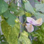 サンジャクササゲケゴンノタキ(マメ科)の花