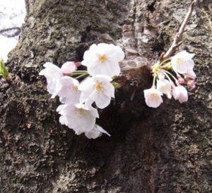近所の桜-2017年4月