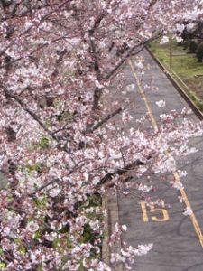 荒川自然公園の桜