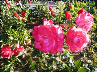 京成町屋駅前のバラ