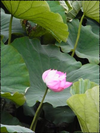 上野の不忍池の蓮の花