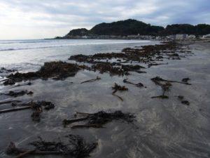 台風一過の由比ヶ浜に打ち上げられたワカメ-2017年10月31日