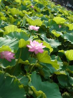 上野の不忍池の蓮