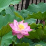 アレクサンダーテクニークを使って撮影した蓮の花