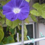 ベランダ家庭菜園のアサガオ