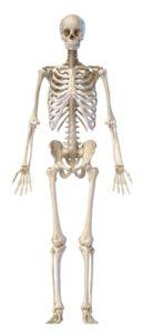 skeleton-front