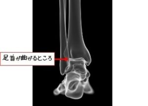 足首の関節の曲がるところ